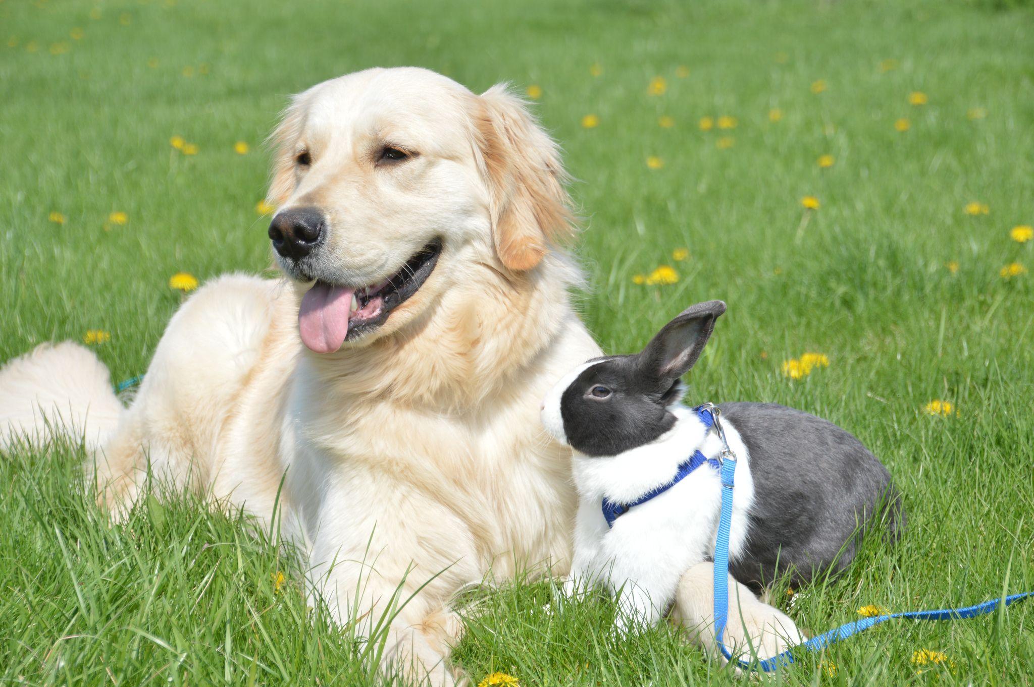 Golden With Bunny Labrador Retriever Animals Dutch Rabbit