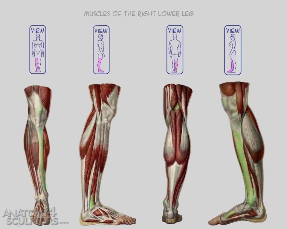 Anatomy 4 Sculptors | Anatomy, Leg anatomy and Anatomy reference