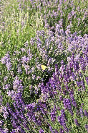 Local Lavender farm | Gardening | Lavender, Lavender flowers, Garden