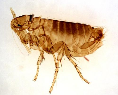 Several types of fleas affect backyard chickens. Learn how to identify and treat  flea problems - Several Types Of Fleas Affect Backyard Chickens. Learn How To