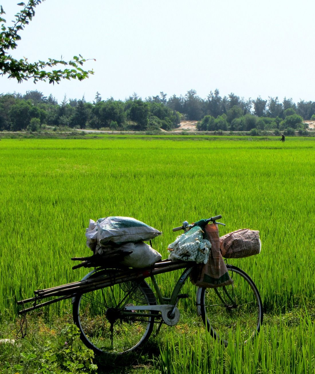 Vietnam Paddy Field  #Travel #VietNam #MekongDelta