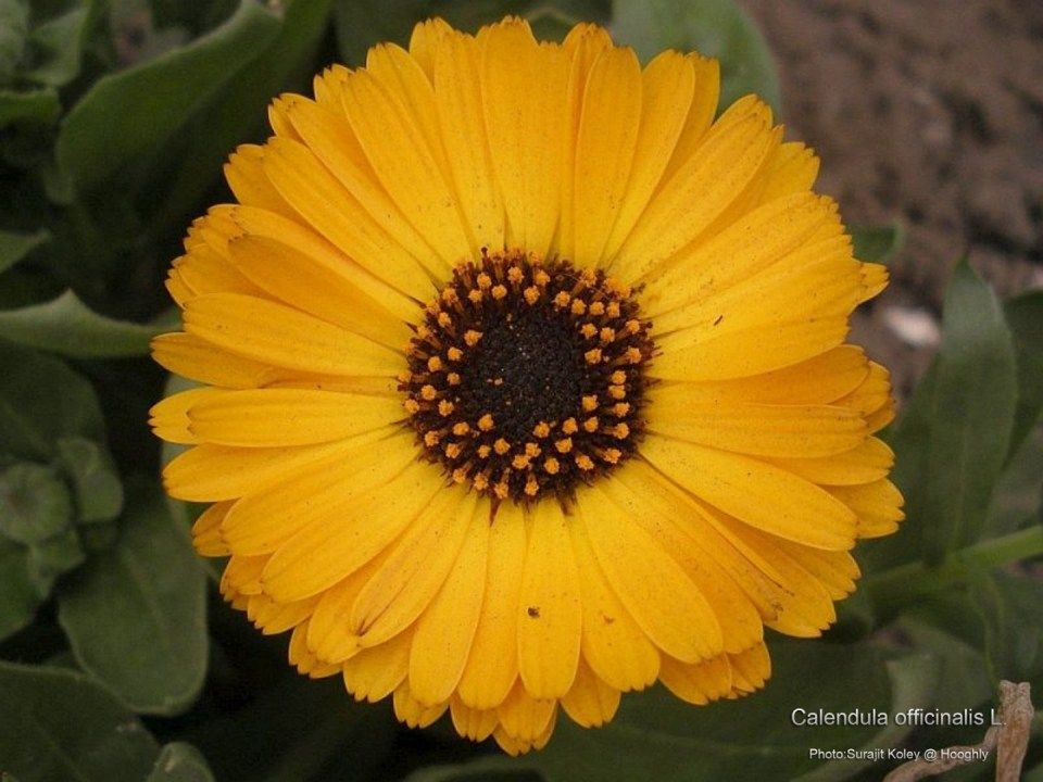 12 Facts That Nobody Told You About Calendula In Tamil Calendula In Tamil Http Bit Ly 2l9bnge Medicinal Plants Calendula Flower Flowers