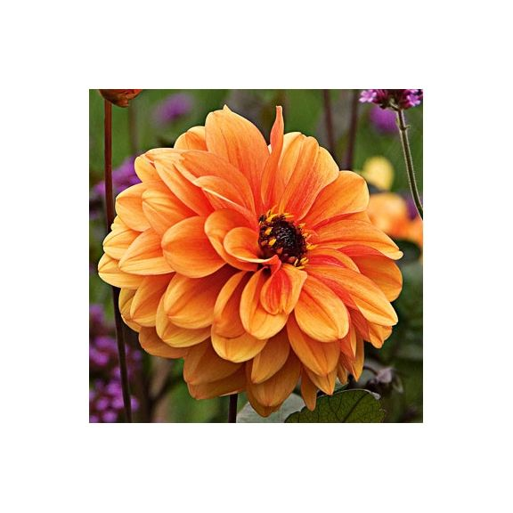 dahlia david howard orange feuillage pourpre fleurs. Black Bedroom Furniture Sets. Home Design Ideas