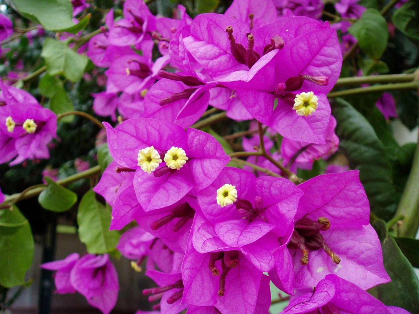 Bougainvillea glabra flor de papel buganvillea menor for Todas las plantas son ornamentales