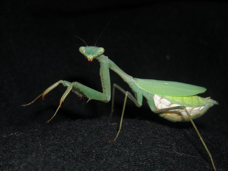 This Is A Springbok Praying Mantis Aka Miomantis Caffra A Small Sized Praying Mantis That Originates Fro Praying Mantis Really Cool Stuff A Well Traveled Woman