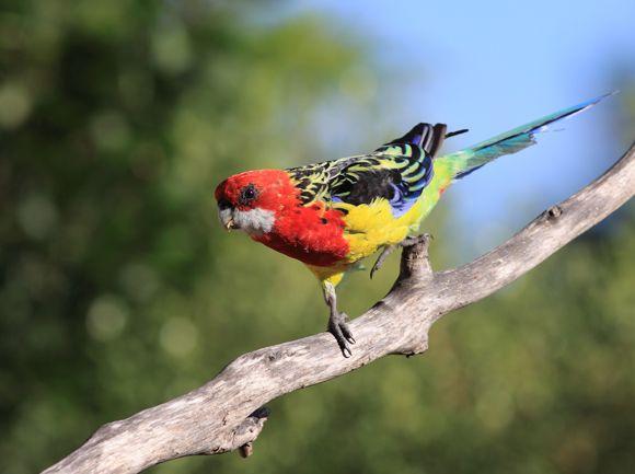 Bird Week -- Celebrate our Australian native birds this ...