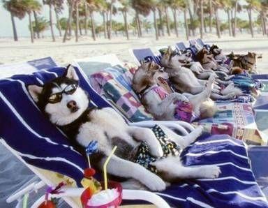 Off Season Iditarod Dogs Cute Animals Dogs