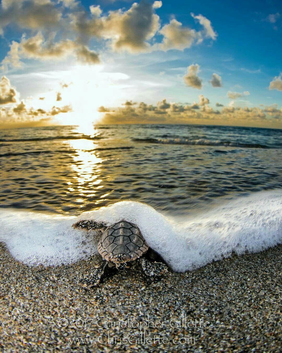 Baby sea turtle turtle pinterest baby sea turtles sea baby sea turtle publicscrutiny Image collections