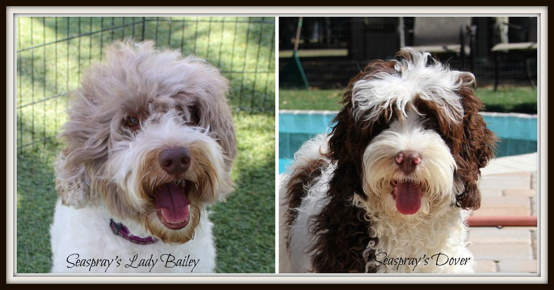 Labradoodle Puppies For Sale In The Tampa Bay Area Fl Labradoodle Puppies For Sale Labradoodle Puppy Australian Labradoodle Puppies