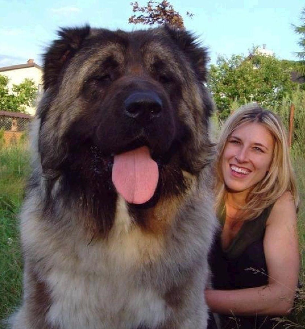Giant Dog Perros Gigantes Perro Mastín Tibetano Perros Enormes