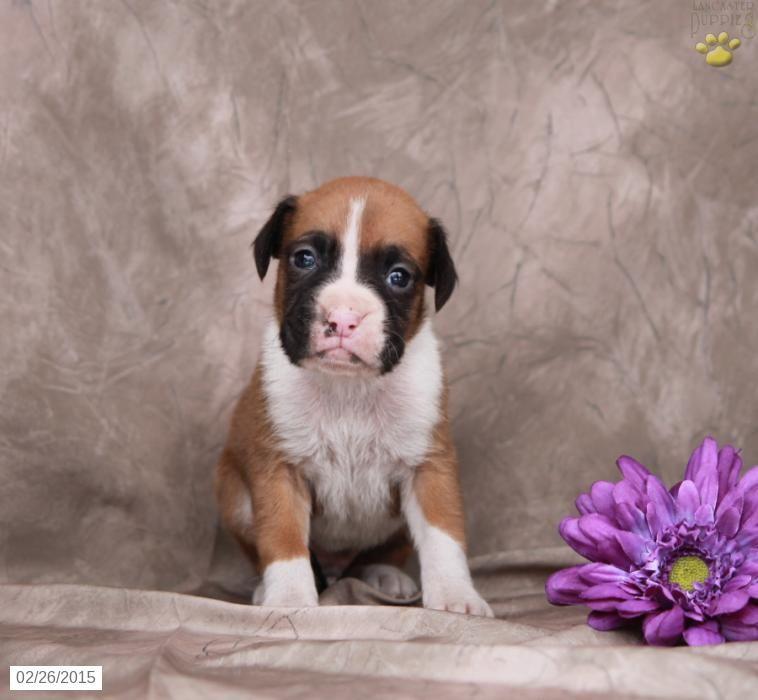 Boxer Puppy for Sale in Pennsylvania Babby Felix Ideas