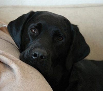 Shelter And Rescue Are The Best Breeds In The World Always Adopt Never Shop Please Support Your Black Labrador Retriever Labrador Retriever Lab Puppies
