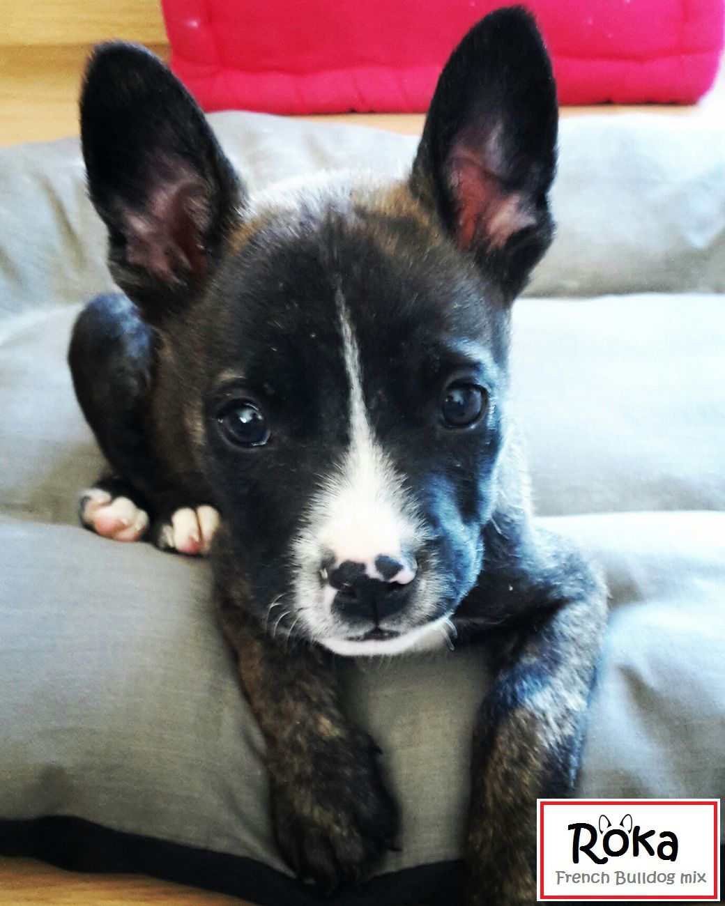 Roka Is A French Bulldog And Jack Russell Mix He Is 9 Weeks Roka Est Un Bouledogue Francais Croise Jack Russell French Bulldog Mix Puppy Time Terrier Mix
