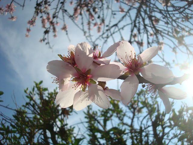 Mandelblüte in Portugal