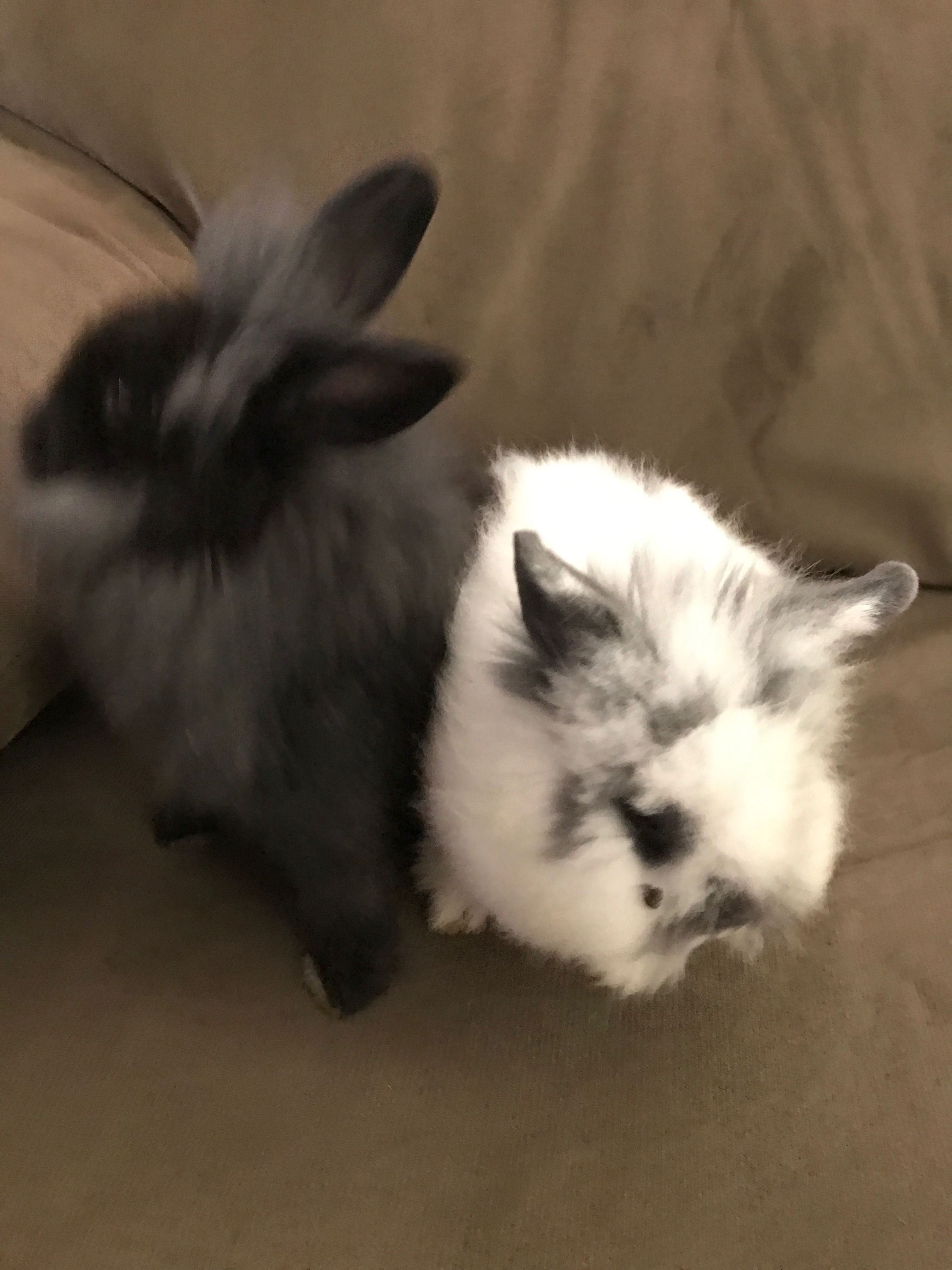 2 Baby Rabbits For Sale : rabbits, Bunnies, Sale., These, Their, Older, Siblings., Dwarf, Lionhead, Bunnies., Designer, Rabbits., Animals,, Bunnies,, Bunny