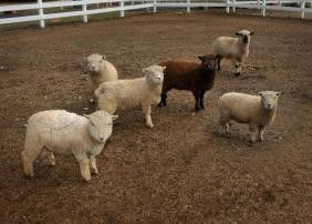 Southdown Babydoll Sheep for Sale in California - Marquis