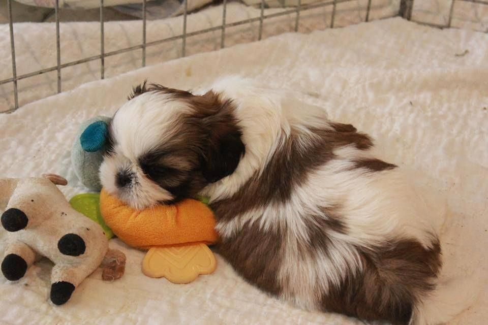 Shih Tzu Affectionate And Playful Shih Tzu Puppy Puppies