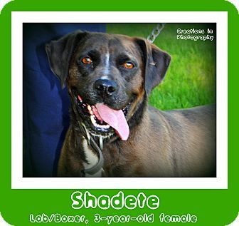 Meet SHADETE, a very pretty 3yearold Lab/Boxer mix! If