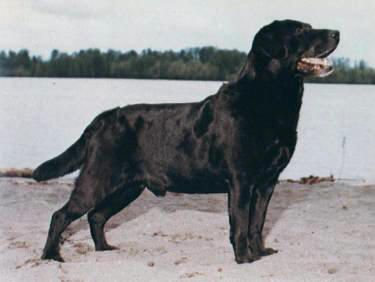 My Dog Jack The Lab Labrador Retriever Labrador Retriever