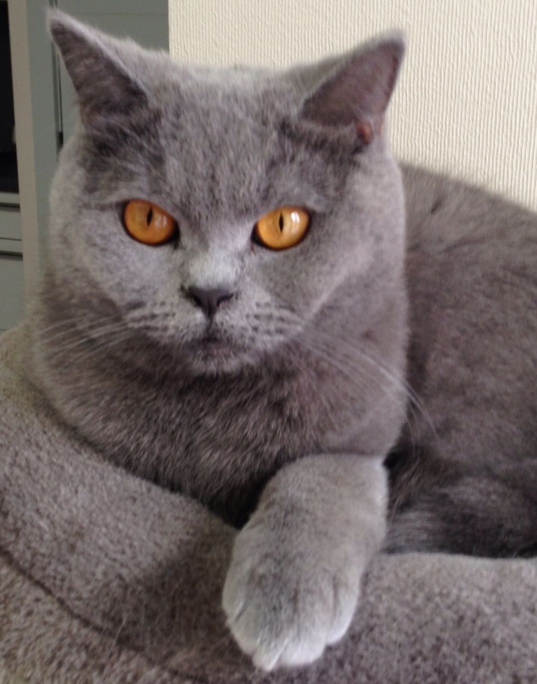 Mina 1 Jaar British Shorthair Cats Cats And Kittens Cat Breeds