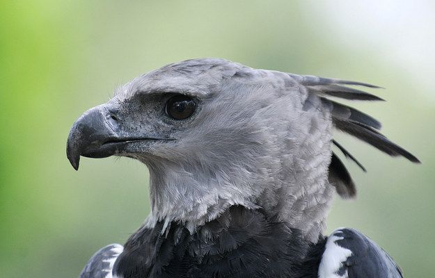 Meet the Harpy Eagle. | Proof The Harpy Eagle Is Seriously The Craziest Looking Bird Ever