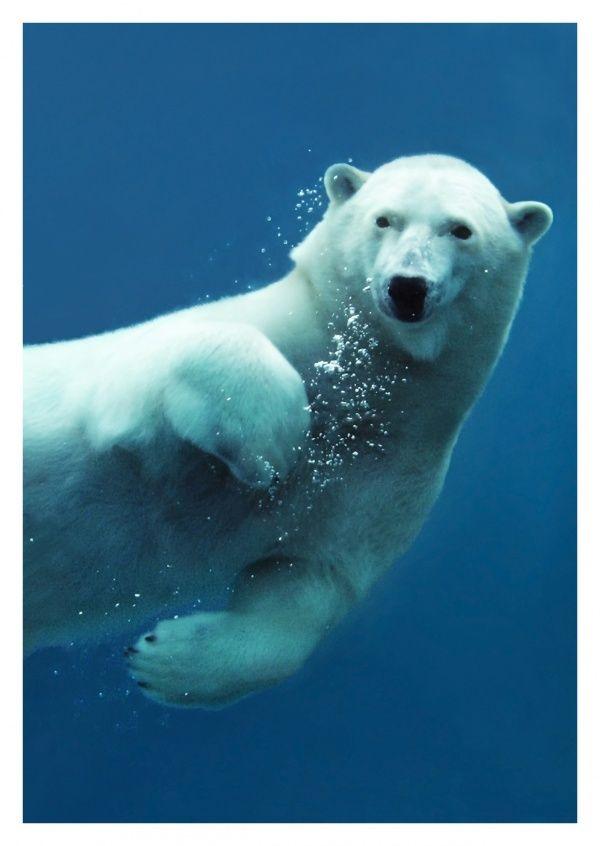 Eisbär   Kunst & Fotografie   Echte Postkarten online versenden