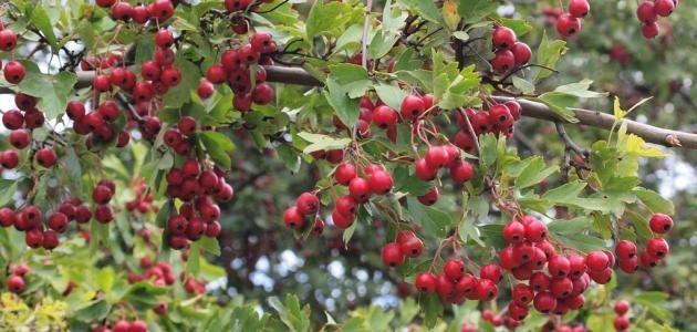 عشبة الز عرور فوائد عشبة الز عرور الت أثيرات الجانبي ة لعشبة الز عرور تحذيرات الت فاعلات الدوائي ة لعشبة الز عرور Plants Red Peppercorn Peppercorn