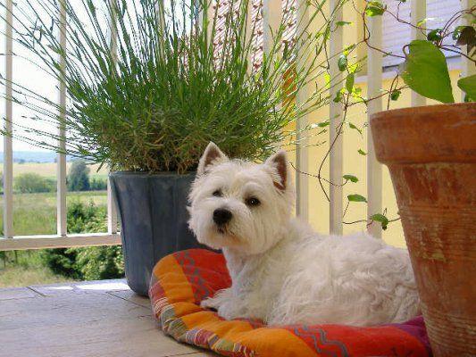7 chiots westies > Acheter un chiot West Highland White Terrier > 88 ...