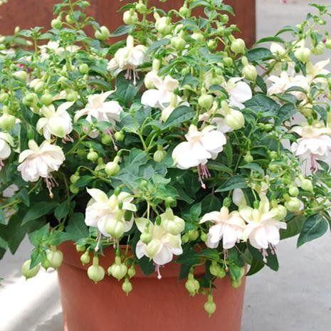 Jollies Avignon Plants Avignon Jolly