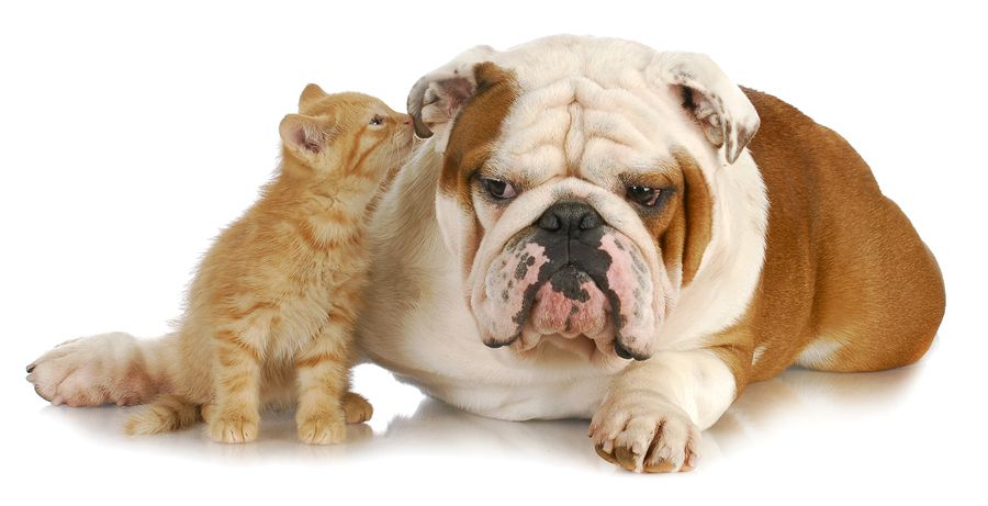 Can Dogs Get Ear Mites Bulldog Kittens Cutest Dog Cat