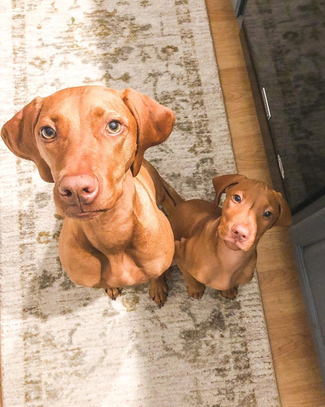 408 Likes 6 Comments Adventures Of Hazel River Hazelandriver On Instagram What You Cookin Up There In 2020 Dog Solution Vizsla Dogs Cute Puppies