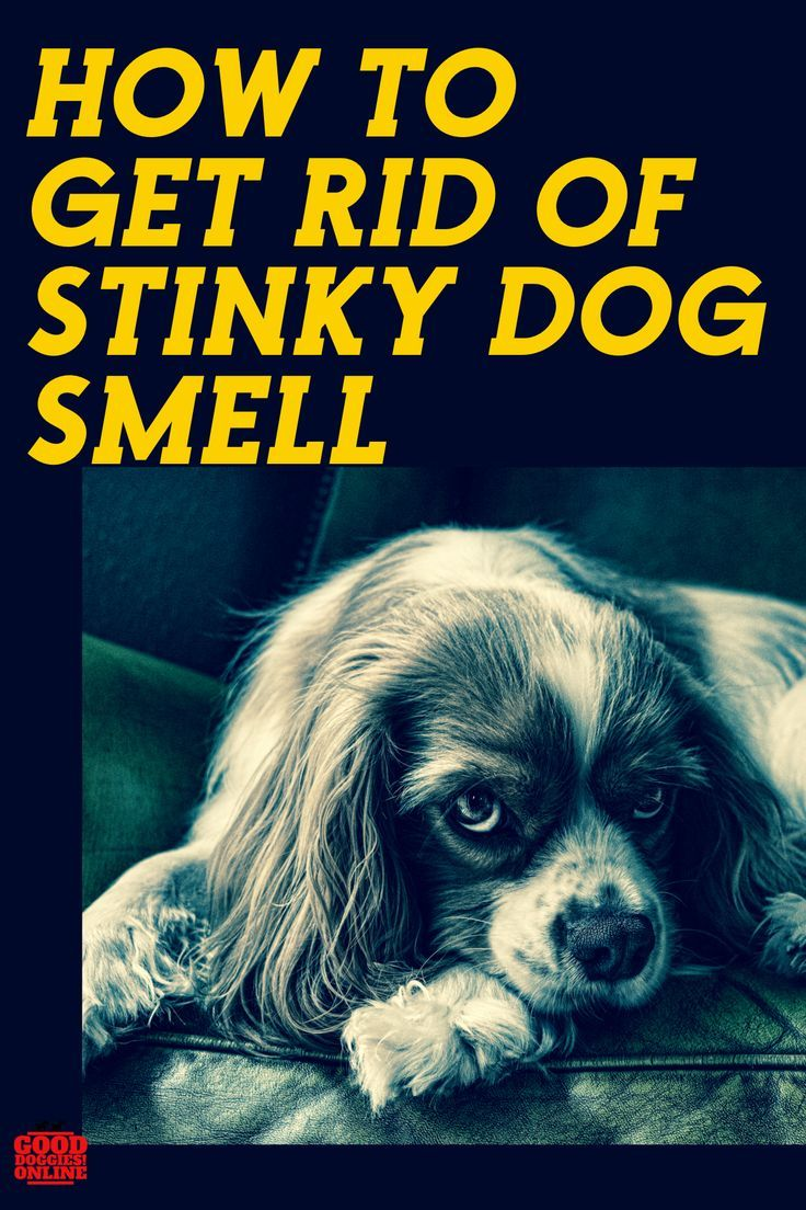 How To Get Rid Of Dog Smell In The House Dog Smells Stinky Dog