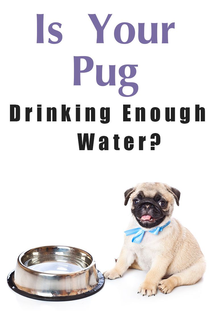 Get your pug to drink more water pugs black pug