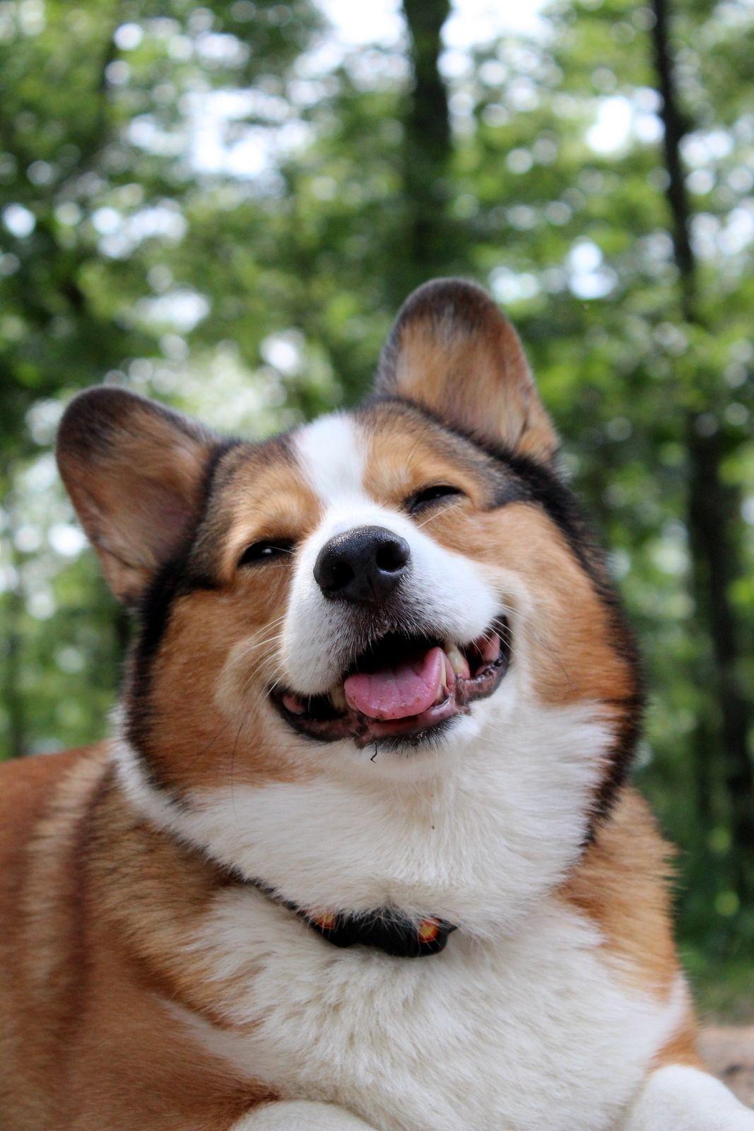 Cooper Corgi Cooper Smile With Images Corgi Dog