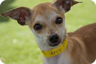 Pictures Of Percy A Chihuahua Mix For Adoption In Colorado Springs Co Who Needs A Loving Home Dog Adoption Chihuahua Mix Pets