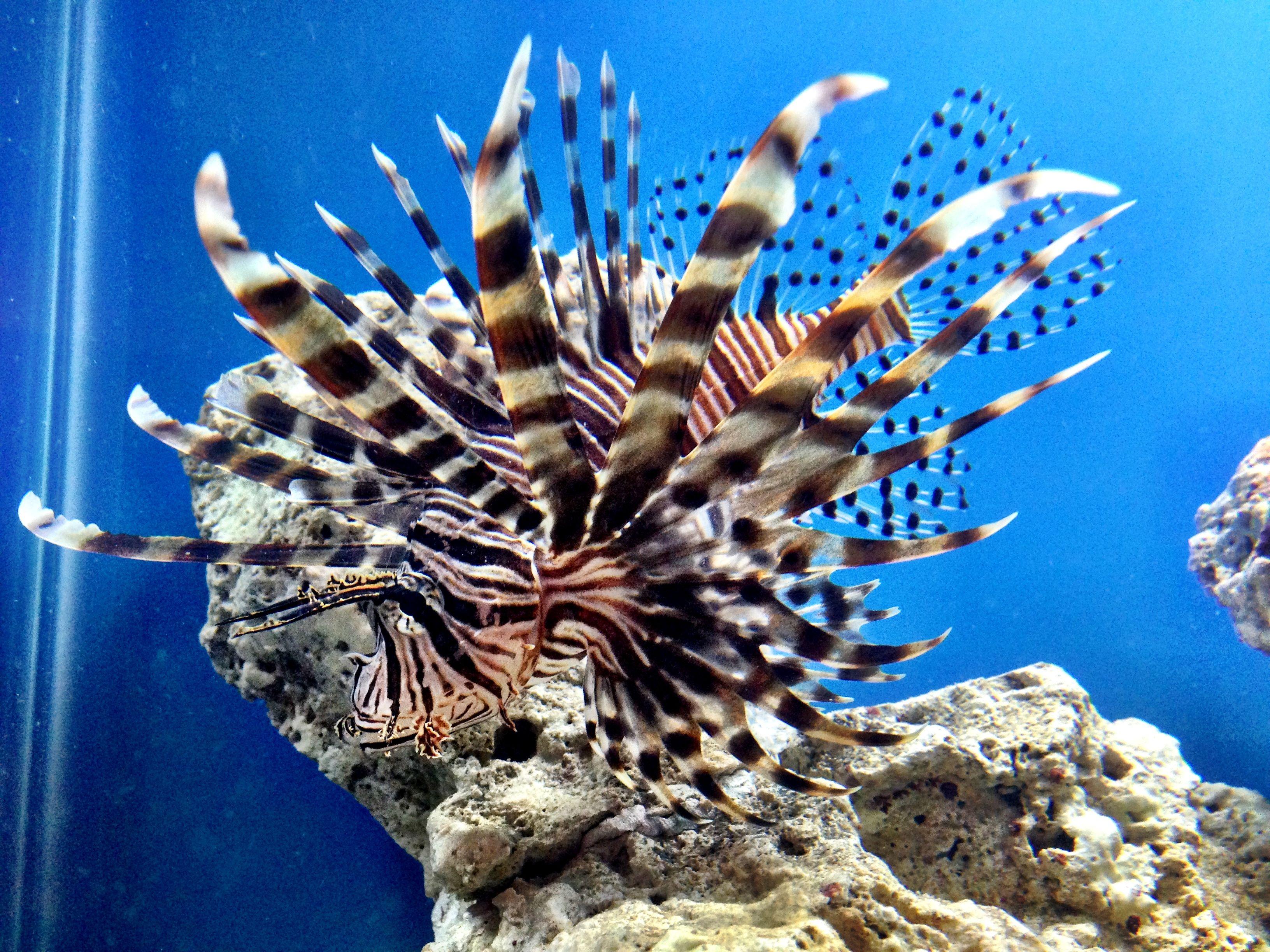 Our Black Volitan Lionfish Lion Fish Pets Animals