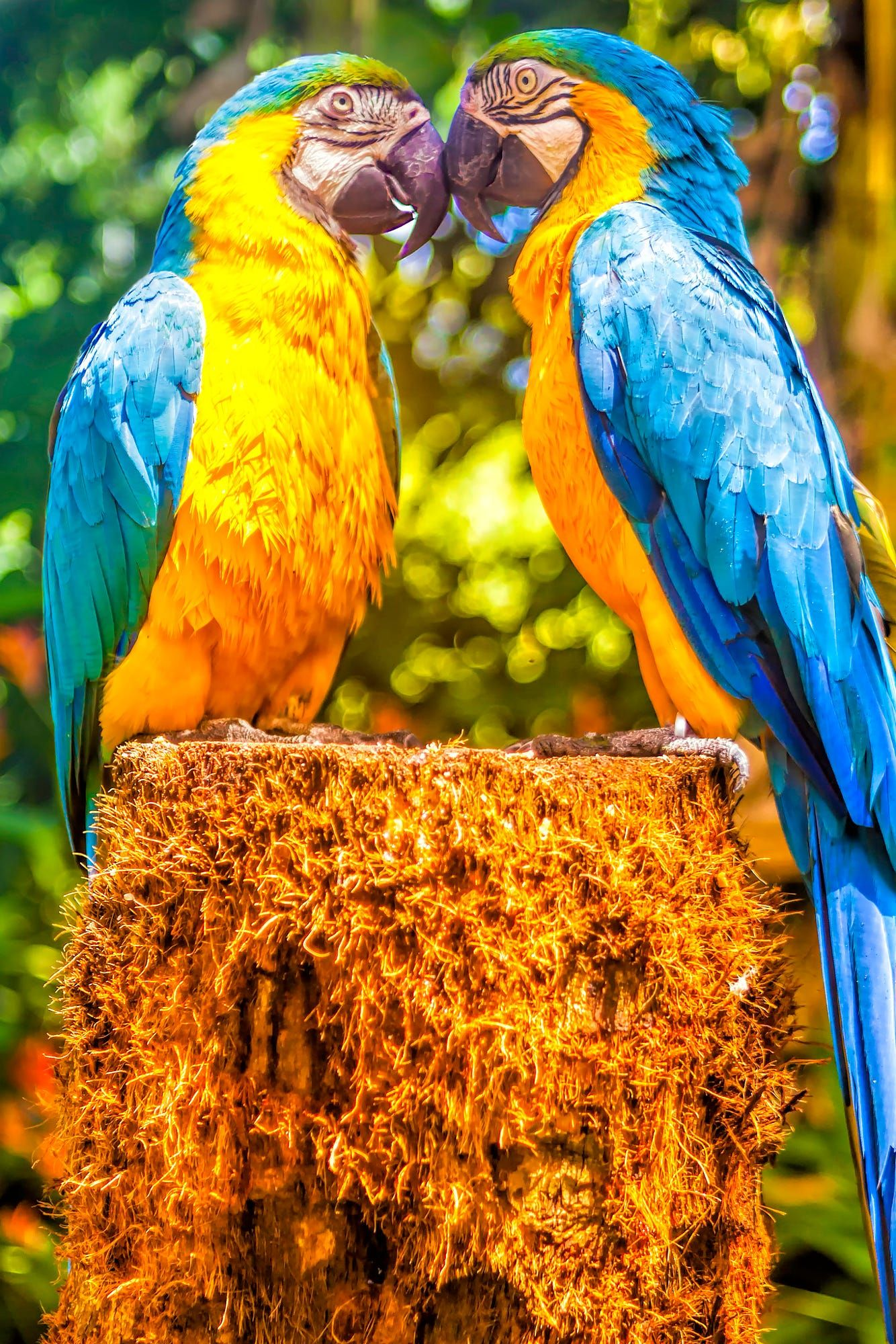 A Mated Pair Of Blue And Yellow Macaw These Two Parrots Were Totally Inseparable