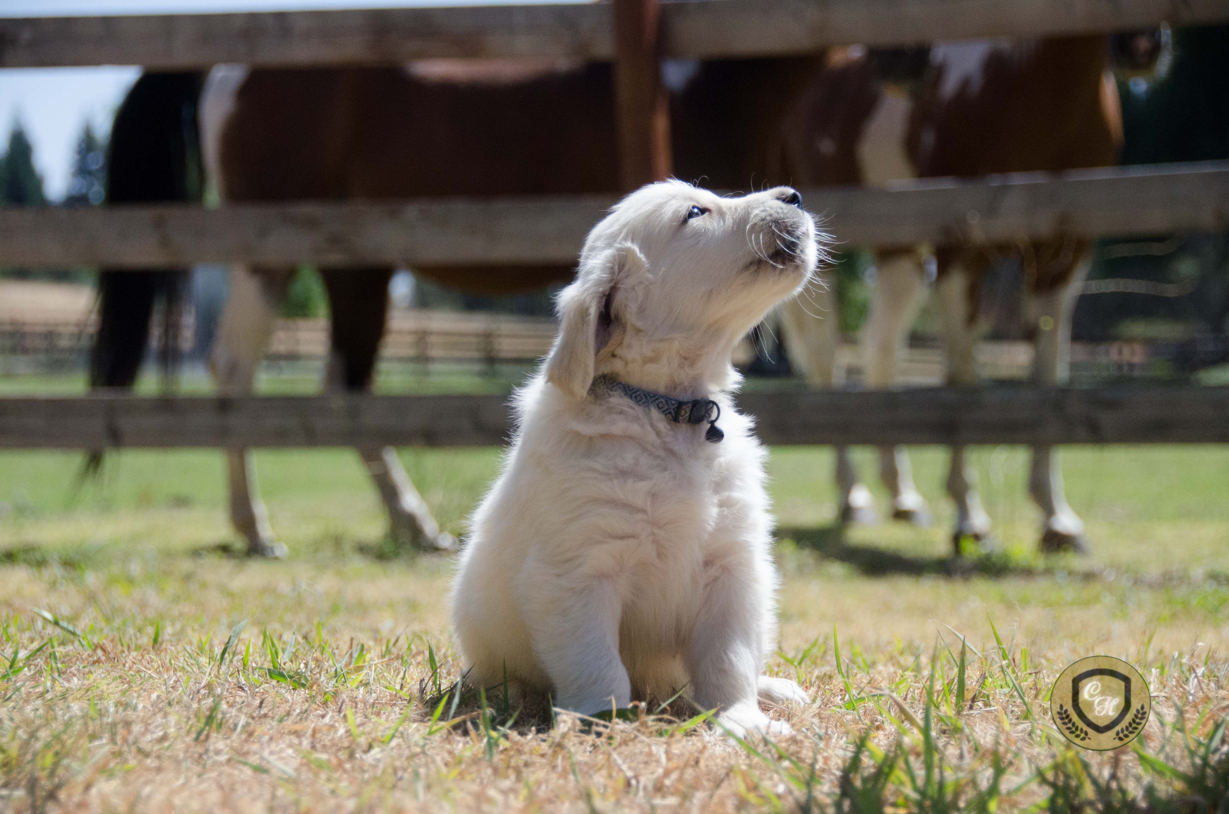 Pin By Classic Heritage Golden Retrie On Golden Retriever Puppies English Golden Retrievers Golden Retriever Retriever Puppy