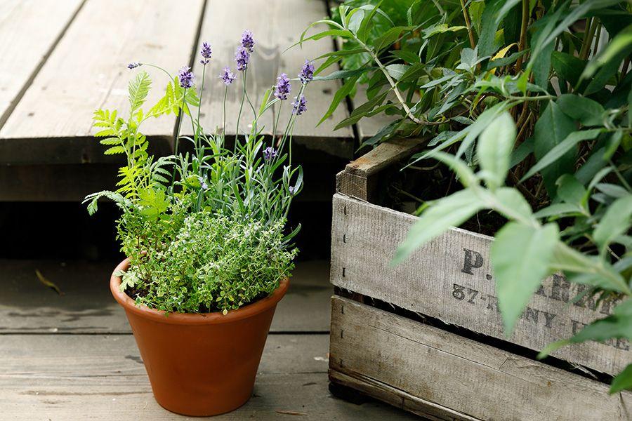 虫除け効果のある植物の寄せ植え ベランダから虫に退散いただくには
