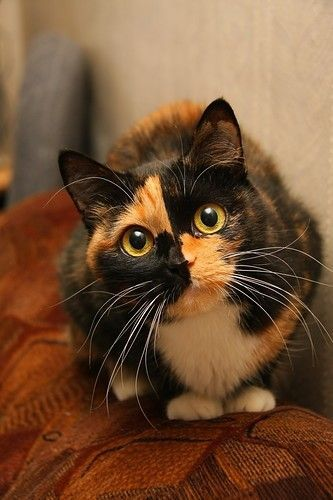 Tortoiseshell cats fun facts about torties cat facts cats kittens cute cats - Images of tortoiseshell cats ...
