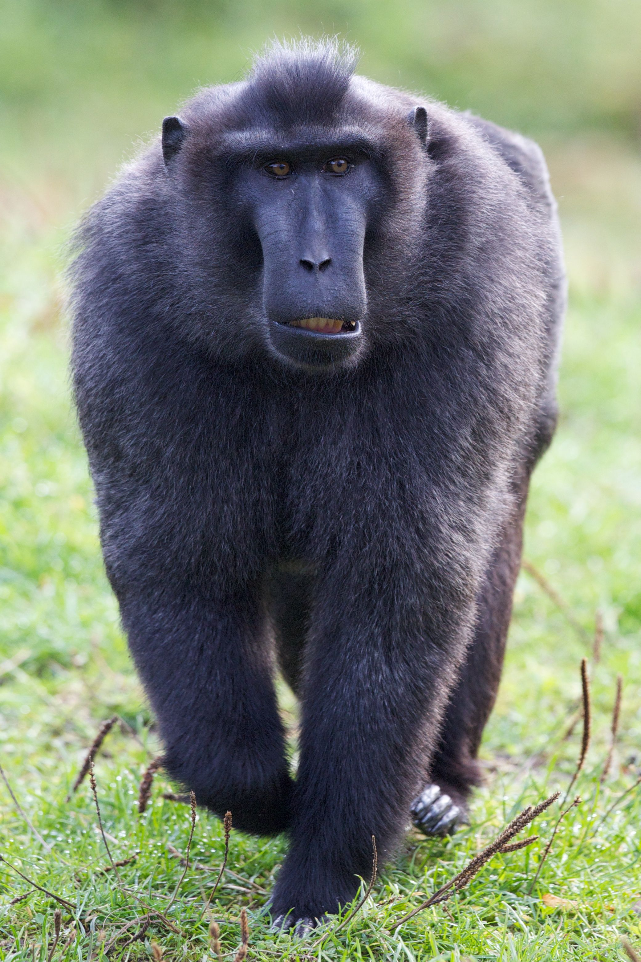 Sulawesi Crested Macaque Funny Animal Pictures Dublin Zoo Baby