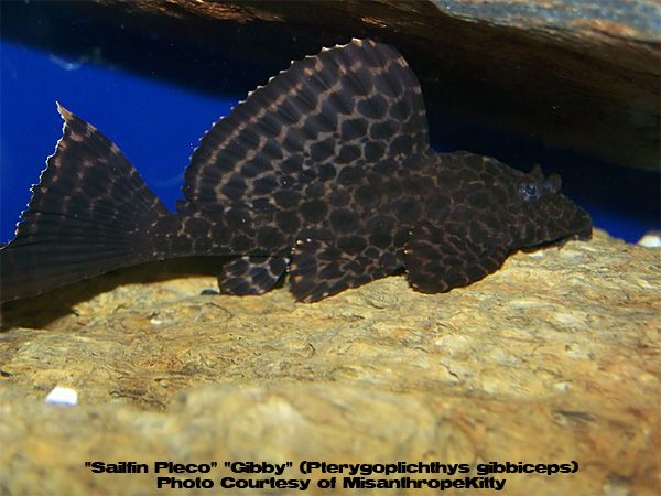 2 Spotted Sailfin Plecos Fish Pet Pets Animals