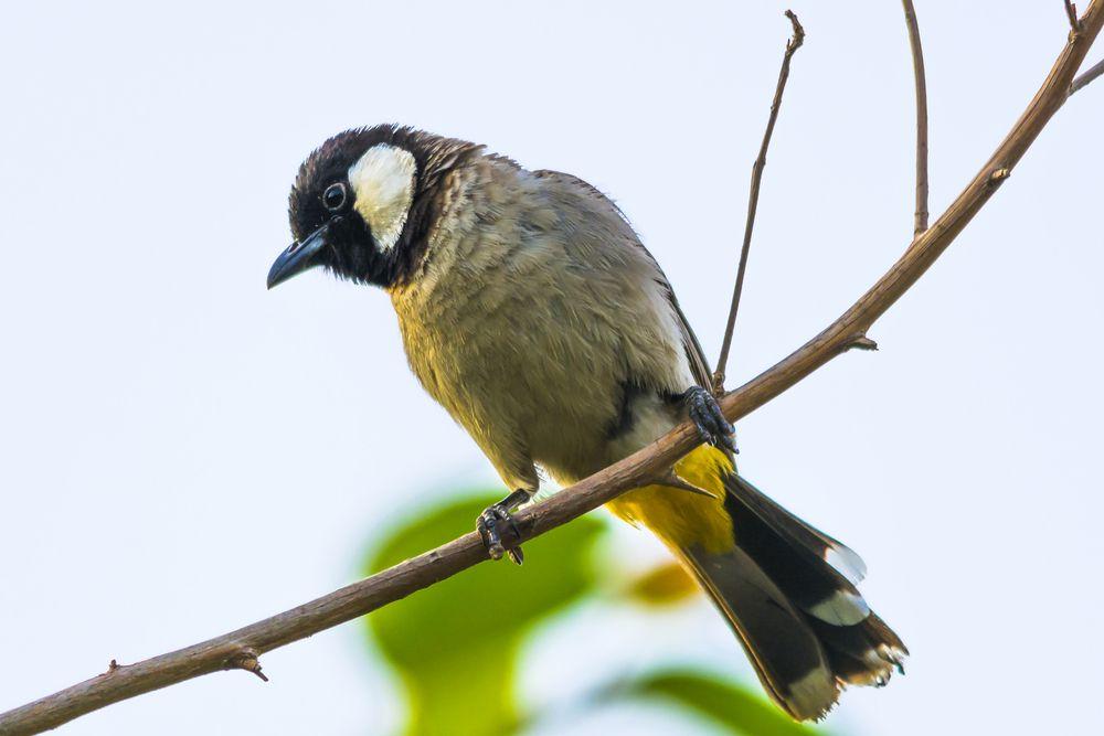 صوت البلبل Animals Bulbul Bird