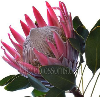 Order King Protea Flower For Bulk Sale In 2020 Protea Flower Wholesale Flowers King Protea