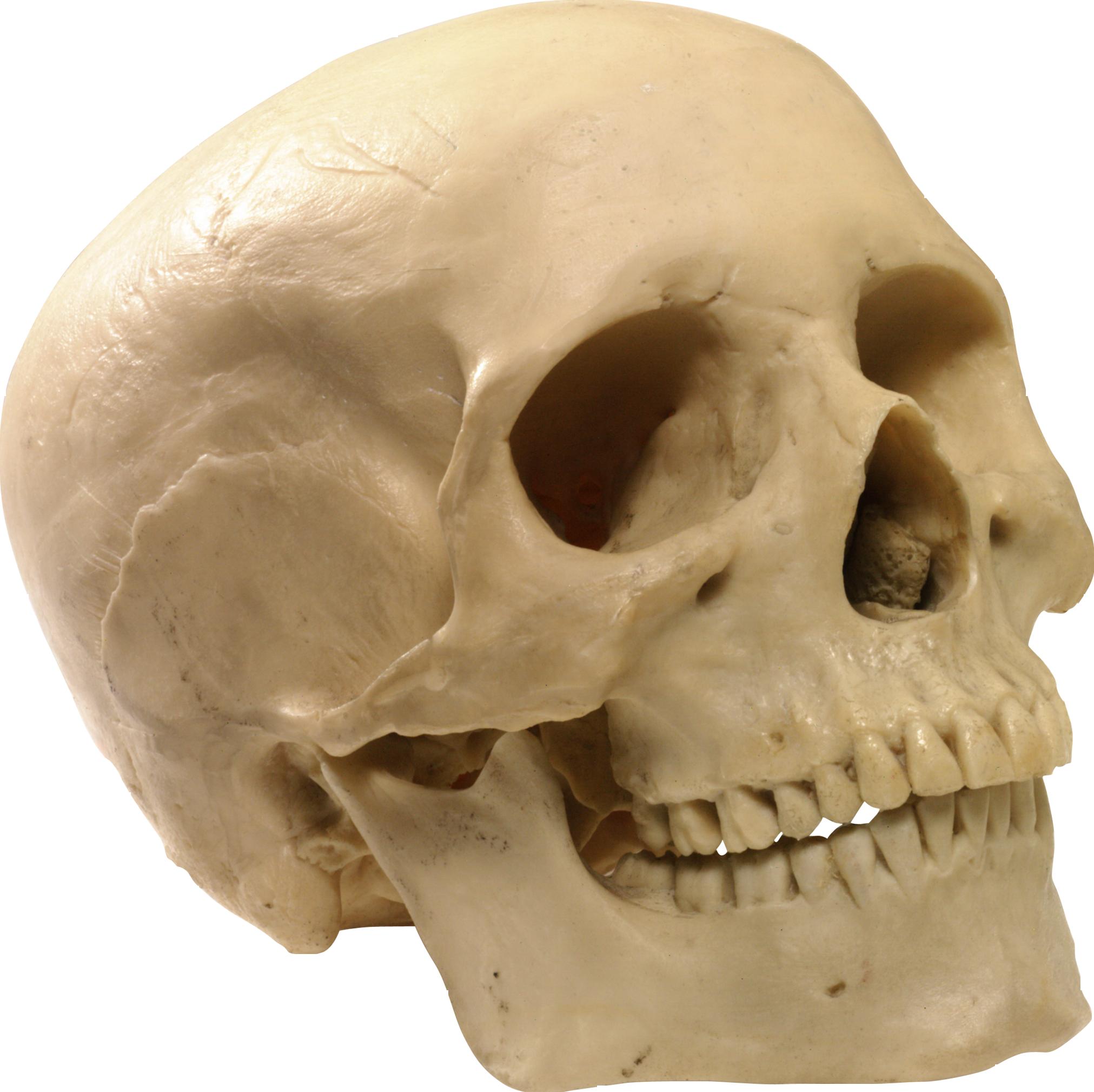 Human Skull 10 Png 2023 2018 Skull Skull Anatomy Skull And Bones