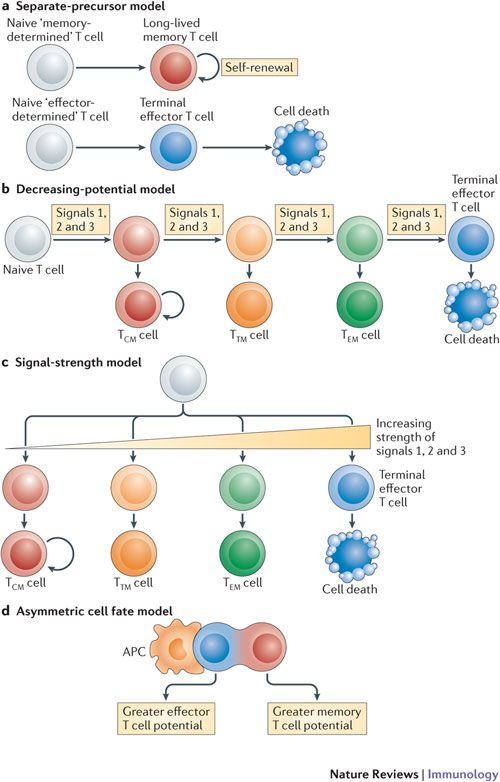 This Is The Timeline And Possible Outcomes Of T Cell
