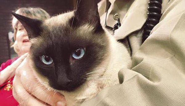 Scout the siamese