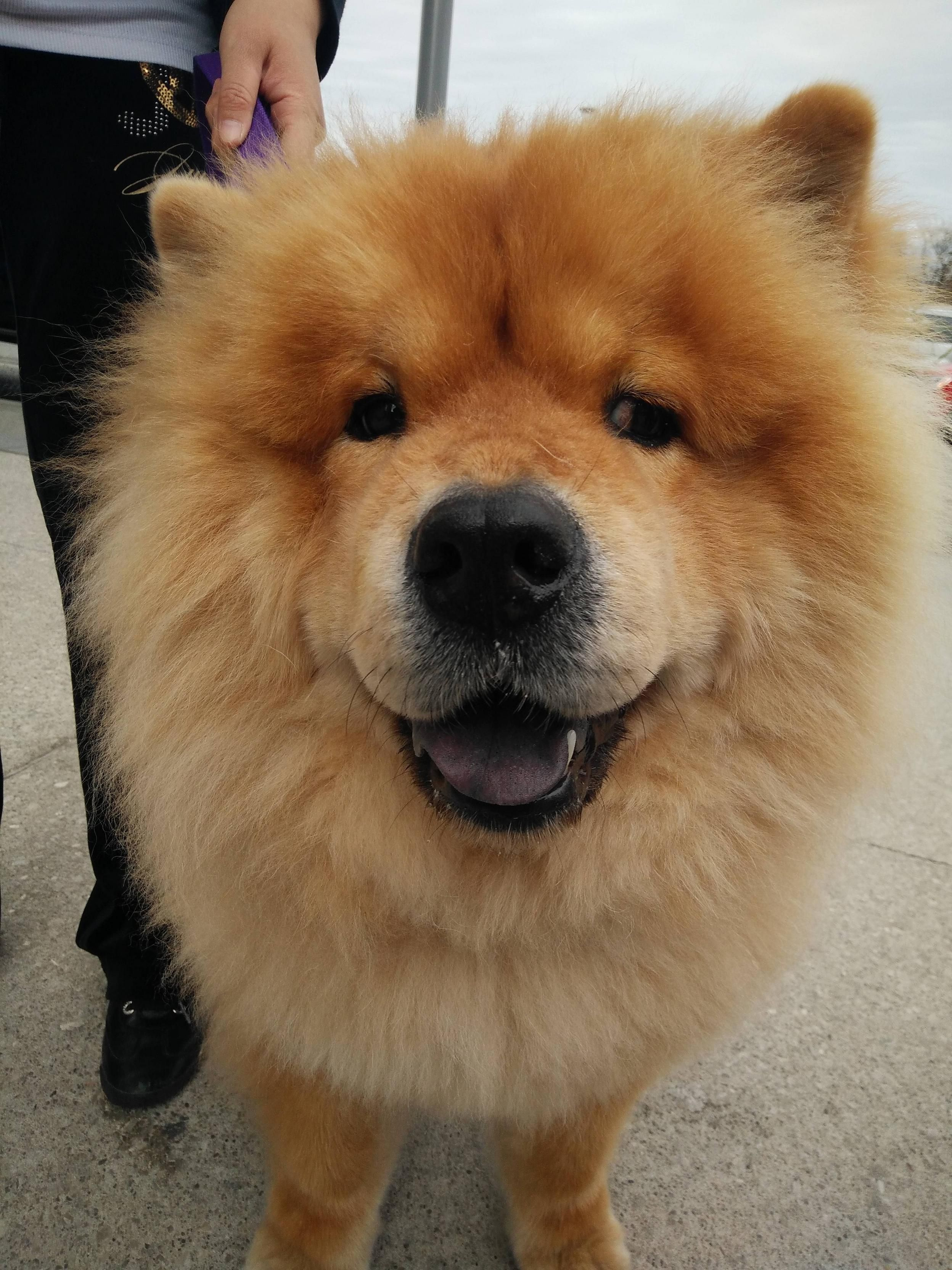 Big Fluffy Chow With A Big Snoot Http Ift Tt 2pdevmx Best Dogs