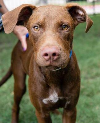 Houston, TX Labrador Retriever. Meet Buddy a Pet for