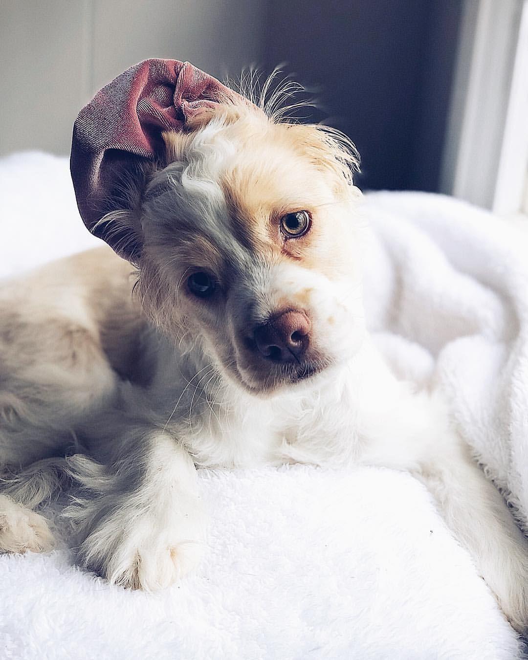 Oh Hey Mom Is My Bath Ready Yet Cocker Spaniel Puppy